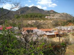 春到孤山。画面中盛开的杏梅,是当年丹麦传教士带来的黄杏与本土的山杏嫁接而成。作者摄于2011年4月。