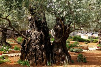 图五:客西马尼花园的古老橄榄树