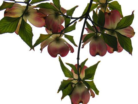门前山茱萸结实如玛瑙,叶红如枫