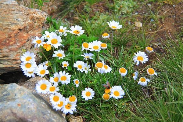 冰川金凤是白色花瓣黄色花蕊